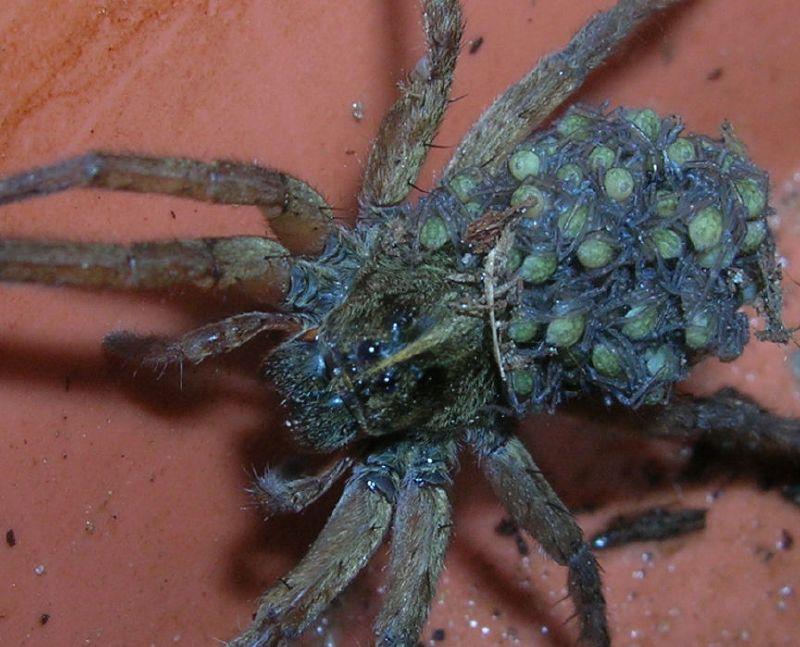 может быть самки паука волка с детенышами фото альпинисты полюбили горы